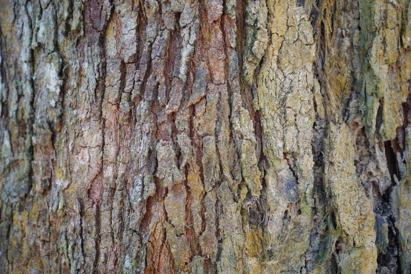 Текстура детали ствола дерева как естественная предпосылка Обои текстуры дерева расшивы Кора дерева дуриана абстрактная предпосыл стоковые изображения