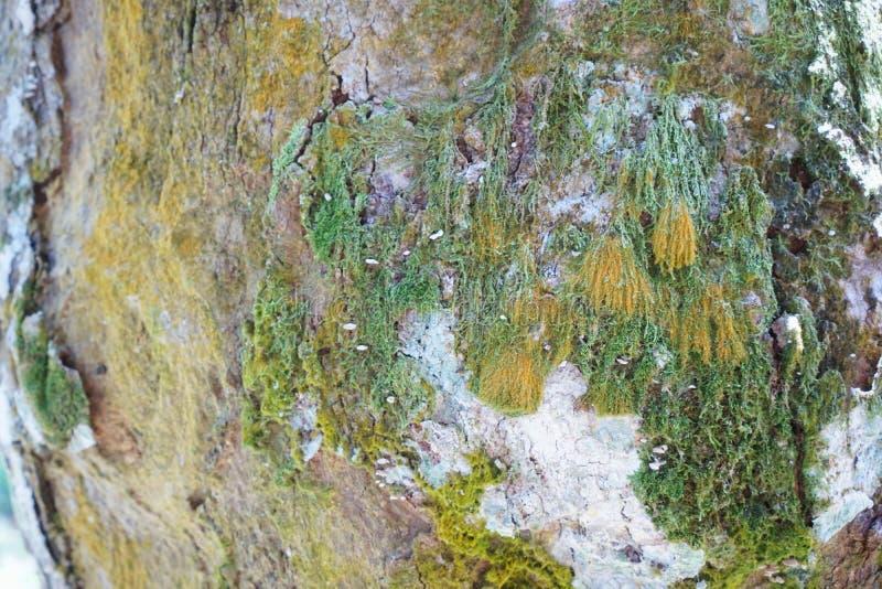 Текстура детали ствола дерева как естественная предпосылка Обои текстуры дерева расшивы стоковая фотография rf
