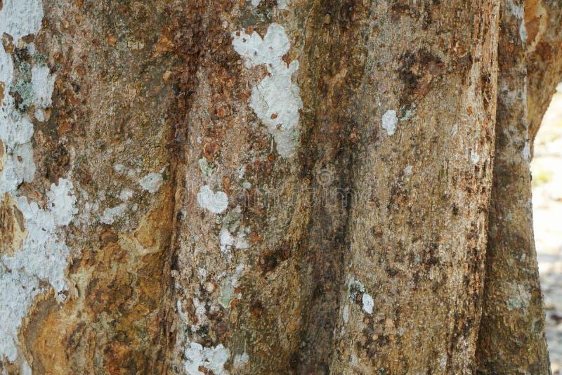 Текстура детали ствола дерева как естественная предпосылка Обои текстуры дерева расшивы стоковые фотографии rf
