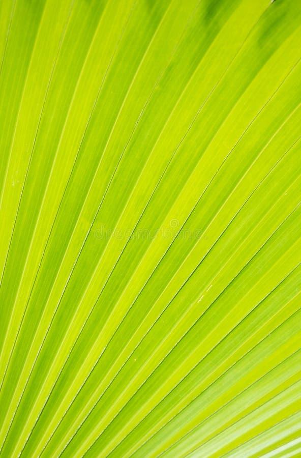 Текстура зеленых лист ладони для предпосылки стоковая фотография rf
