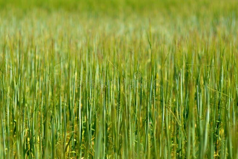 Текстура или предпосылка с зелеными ушами пшеницы на поле стоковое фото