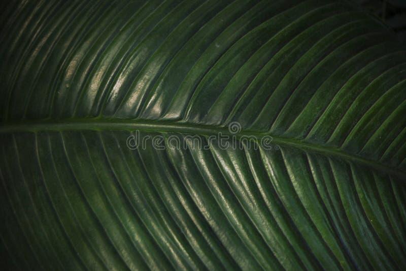 Текстура лист ладони зеленого темного цвета, конца-вверх стоковые изображения rf