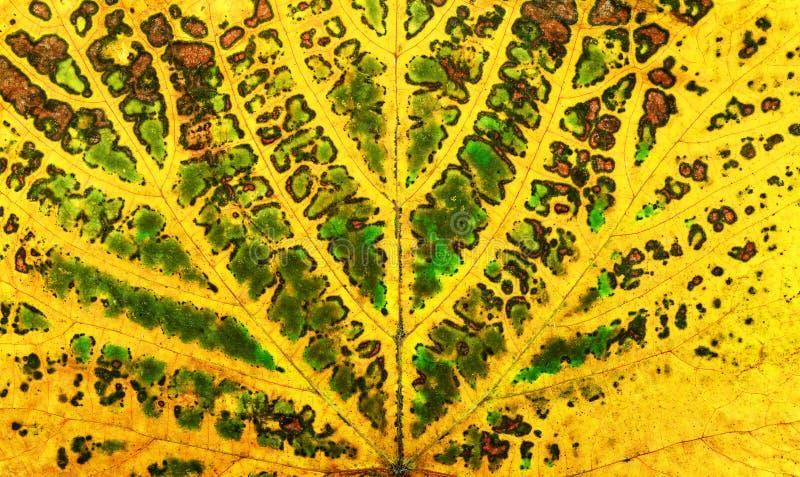 текстура лист лозы осени стоковые фотографии rf