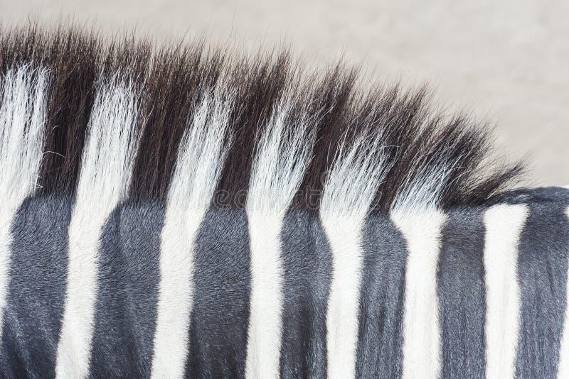 Текстура кожи зебры стоковые изображения