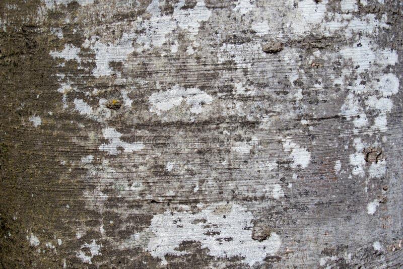 Текстура коры дерева sylvatica Fagus или европейского бука стоковая фотография