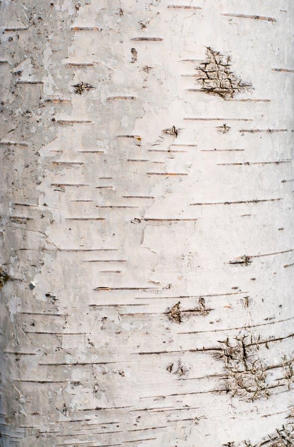Текстура коры дерева березы стоковые фото