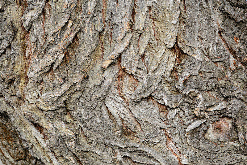 Текстура коры дерева, расшива белой вербы (Salix alba) стоковое фото rf