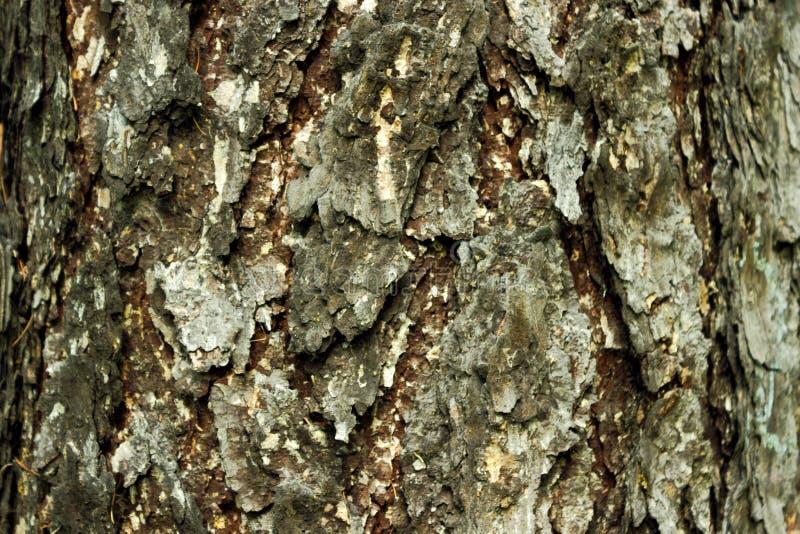 Текстура коры сосны стоковые фото