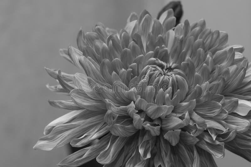 Текстура макроса цветка хризантемы r стоковое изображение rf