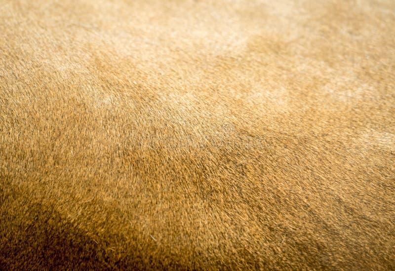 Текстура меха льва стоковое изображение rf