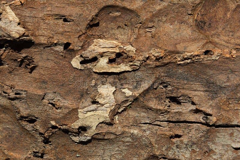 Текстура наружной поверхности коры сосны поврежденной насекомое-вредителями стоковые изображения