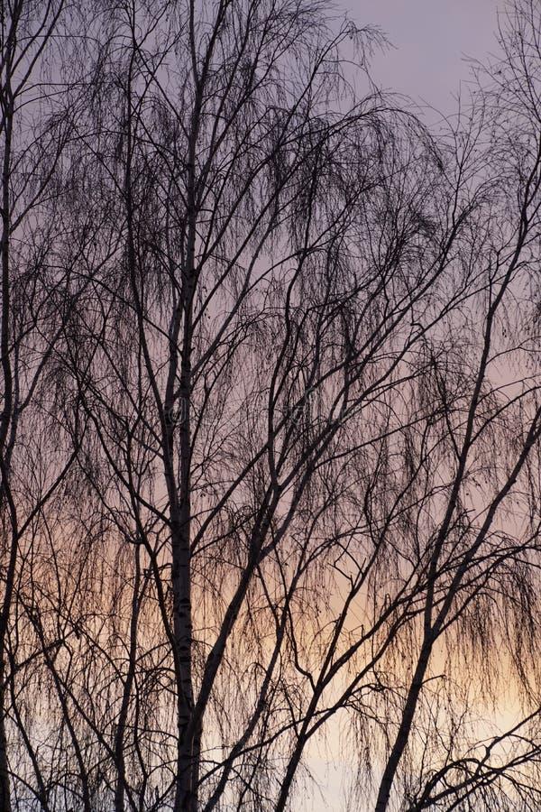 текстура неба небес вечера Цветы захода солнца Береза в ноябре разветвляет вал стоковое фото rf