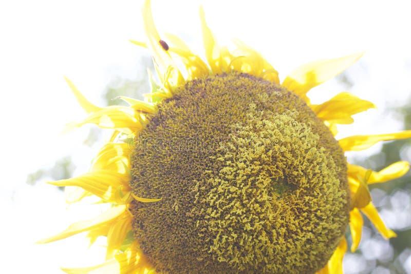 Текстура от больших желтых солнцецветов стоковые изображения