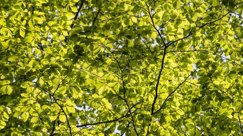 Текстура от листьев европейского бука в backlight valderejo sylvatica естественного парка fagus alava стоковые фотографии rf