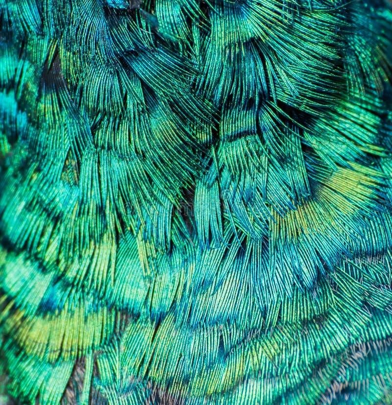 Текстура павлина стоковая фотография