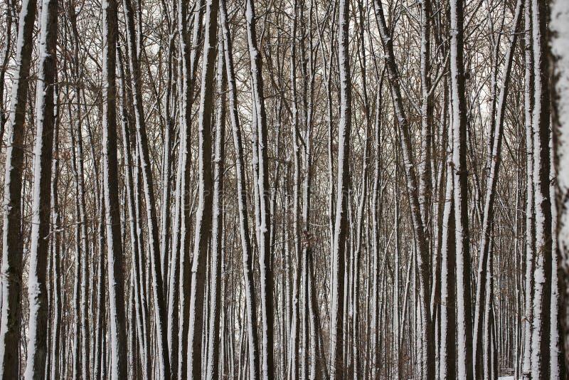 Текстура покрытых снег стволов дерева стоковые фотографии rf