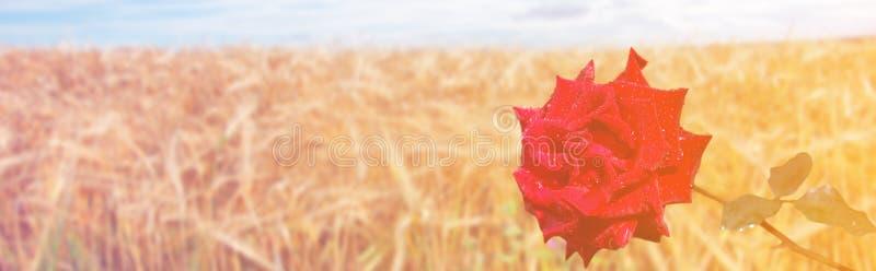 Текстура, предпосылка, картина взгляд саванны изображения Африки Намибии панорамный сиротливый красный цвет поднял стоковые изображения