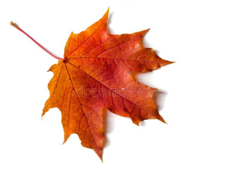 Текстура, предпосылка, картина Осенний кленовый лист, ясные цвета, стоковая фотография