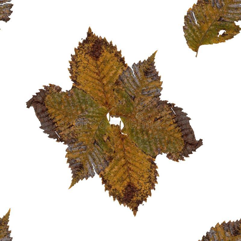 Текстура предпосылки безшовная сделала боярышником сухой отжатый изолированный r стоковые изображения