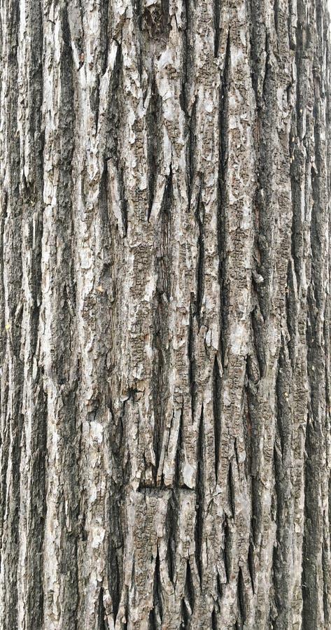 Текстура предпосылки дуба коры, серая коричневая кора стоковые фотографии rf
