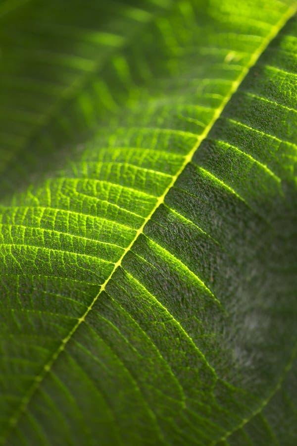 Текстура предпосылки зеленых лист с чертами и линиями осветила по солнцу стоковые фотографии rf
