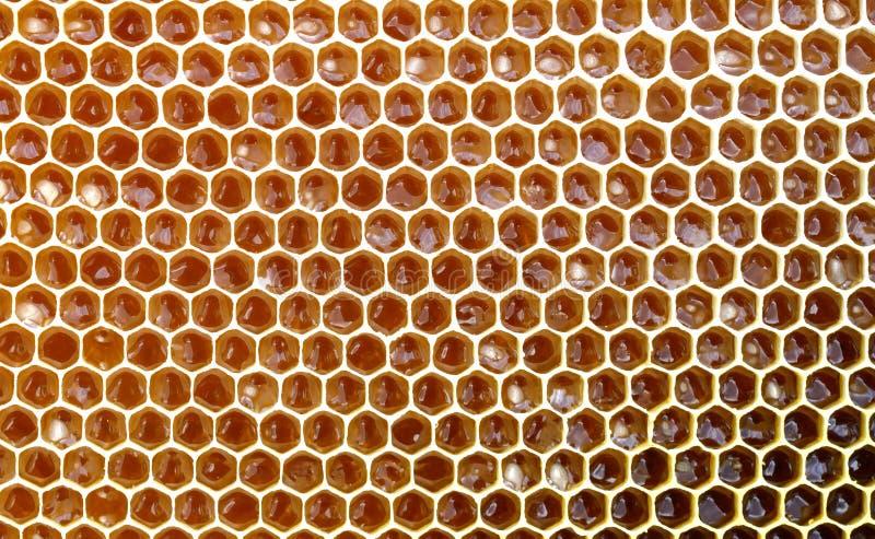 Текстура предпосылки и картина раздела сота воска от крапивницы пчелы заполнили с золотым медом в полном взгляде рамки стоковые изображения