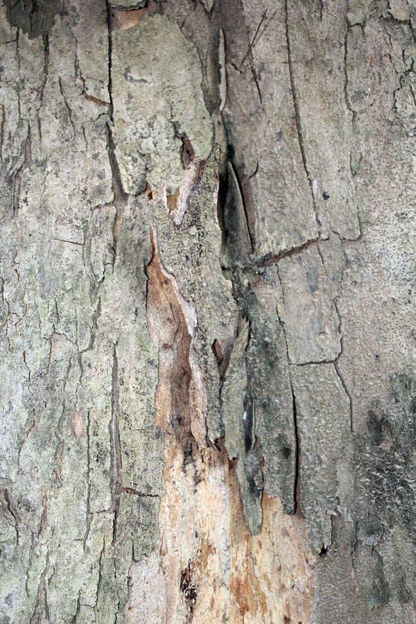 Текстура расшивы дуба стоковые изображения rf