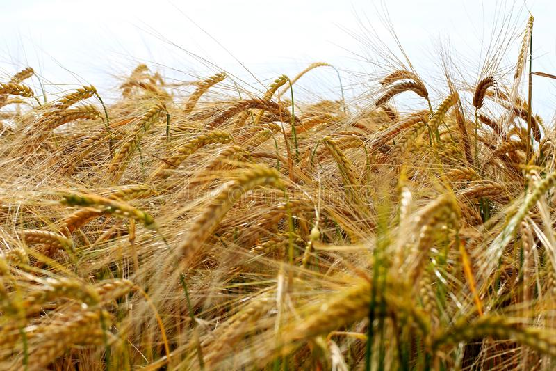 Текстура семени урожая ячменя стоковые фото