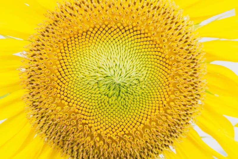 Текстура солнцецветов Предпосылка поля солнцецветов стоковая фотография
