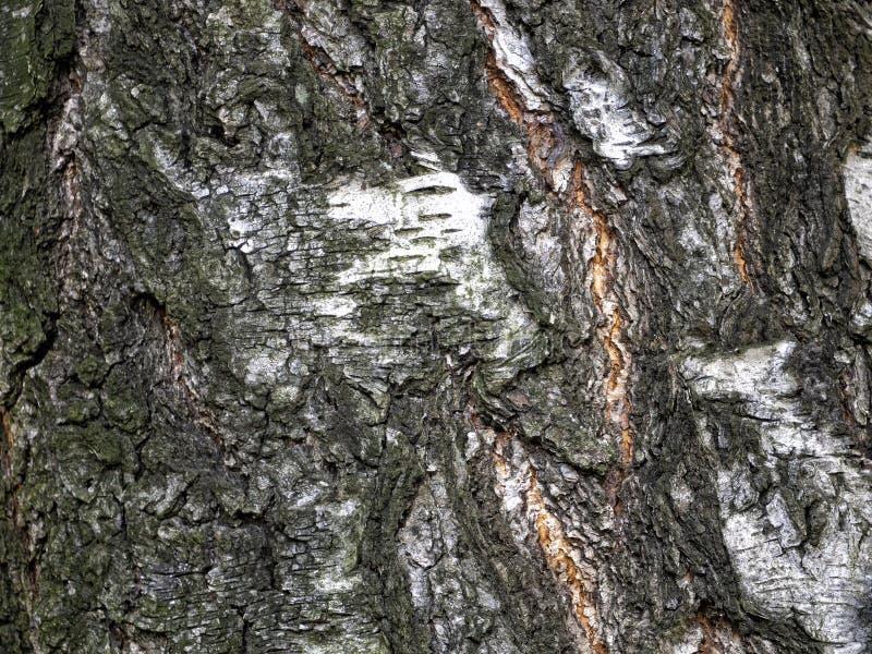 Текстура старой березовой косы с мхом стоковое фото rf