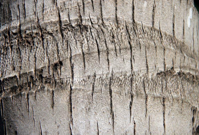 Текстура хобота кокосовой пальмы Картина коричневого черенок стоковая фотография