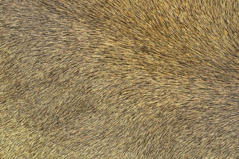 Текстура шубнины льва стоковые фотографии rf