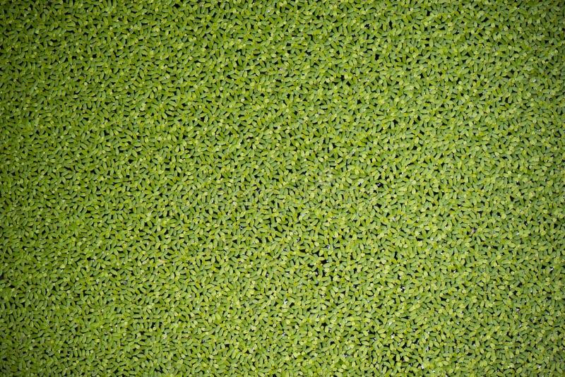 Текстура Duckweed стоковое фото
