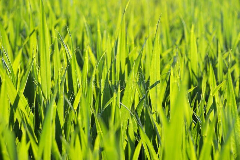 Текстура grean пшеницы стоковые изображения rf