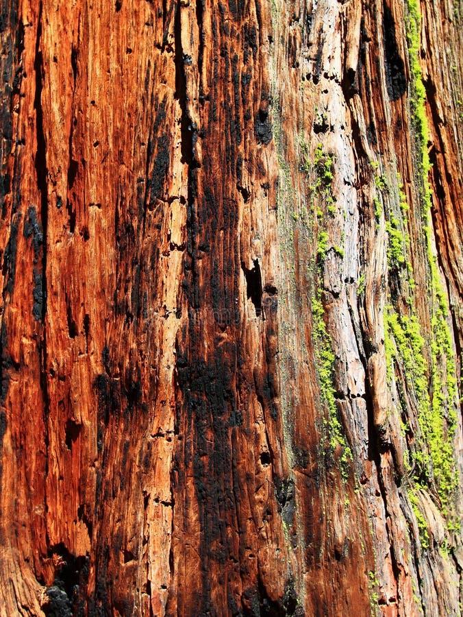 Текстура Redwood стоковое фото rf