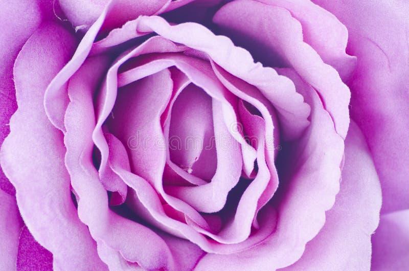 Текстура Rose. Стоковая Фотография