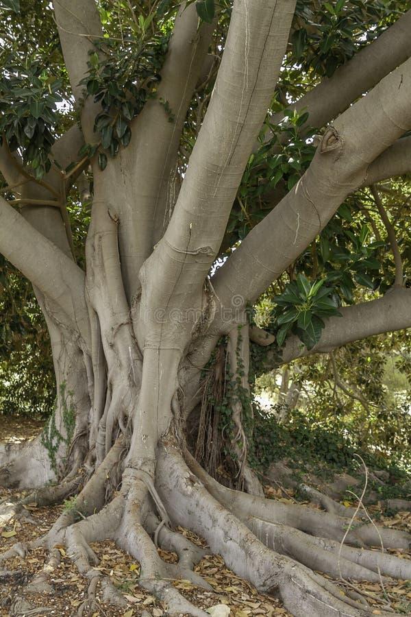 Текстурированное светское дерево фикуса apuntia с большими корнями родных заводов в Сицилии стоковое фото