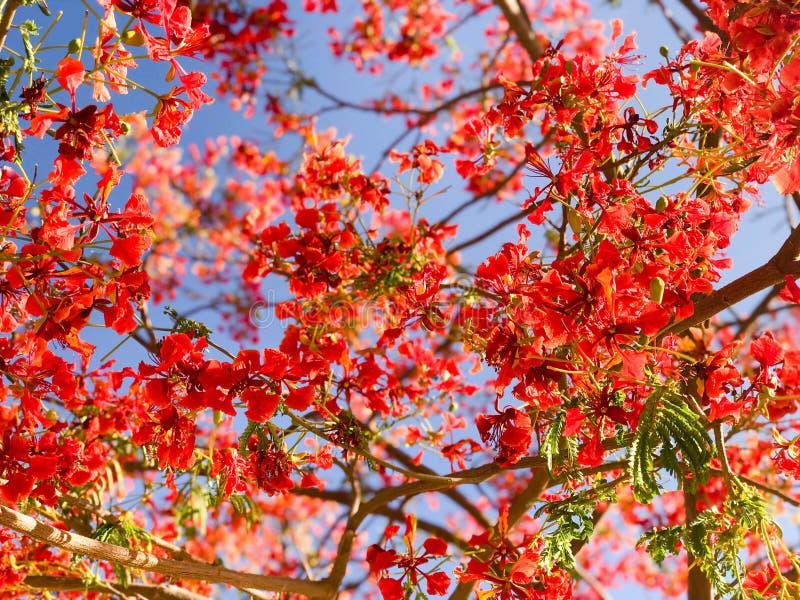 Текстурируйте красный красивый blossoming яркий красный экзотический розовый апельсин от цветя цветков и листьев с ветвями против стоковые изображения rf