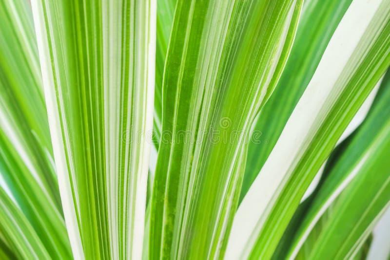 Текстурируйте линейные зеленые нашивки чередуя с яркой белизной на лист, предпосылкой картин природы стоковая фотография