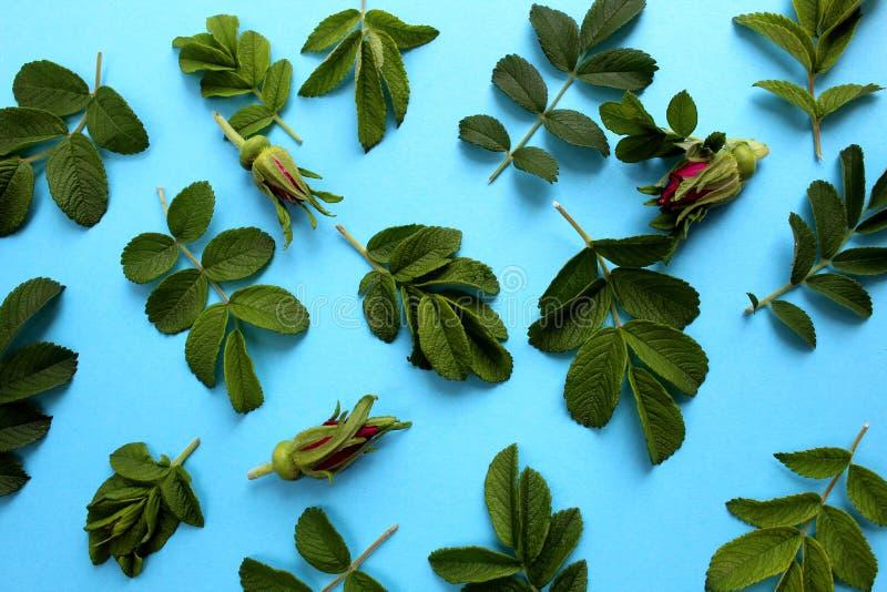 Текстурируйте листья и бутоны диких розовых цветков на голубой предпосылке стоковая фотография rf