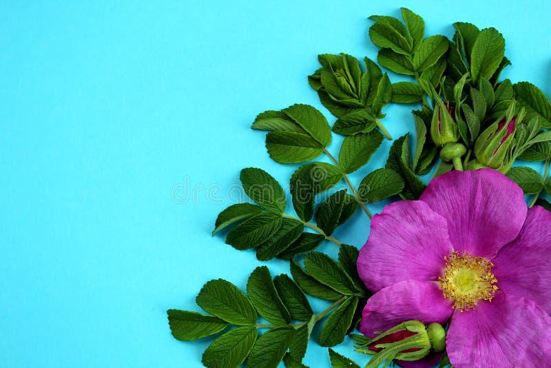 Текстурируйте листья и бутоны диких розовых цветков на голубой предпосылке стоковое фото