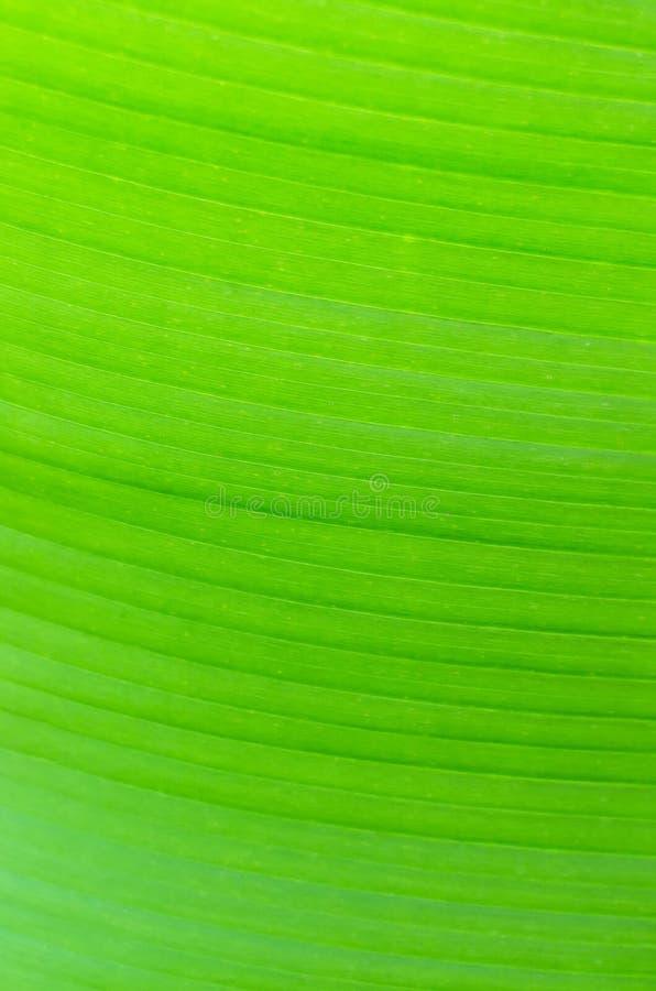 Текстурируйте предпосылку лист банана backlight свежих зеленых стоковая фотография rf