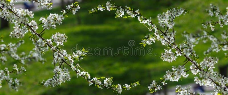 текст весны космоса природы предпосылки ваш яблоня ветви с цветками над зеленой предпосылкой стоковое фото