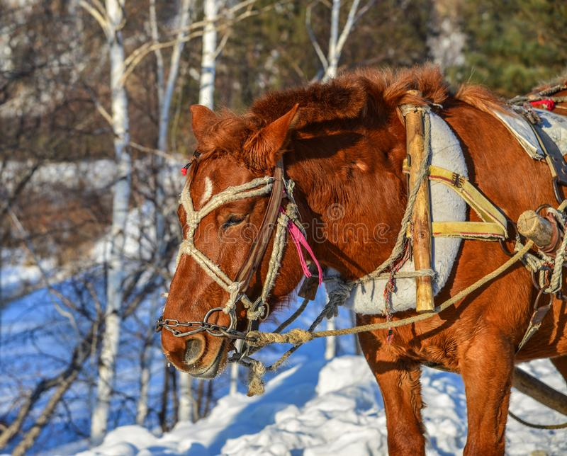 Тележка лошади бежать на дороге снега стоковые фотографии rf