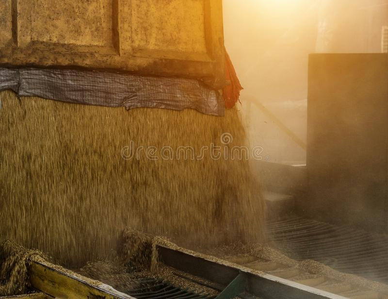 Тележка нагруженная с зерном льет зерно от тела на заводе по обработке, зерно тела, конец вверх стоковое изображение