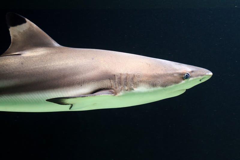 Темная акула рифа blacktip стоковые фотографии rf