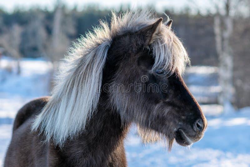 Темная коричневая исландская лошадь с белой гривой стоковая фотография