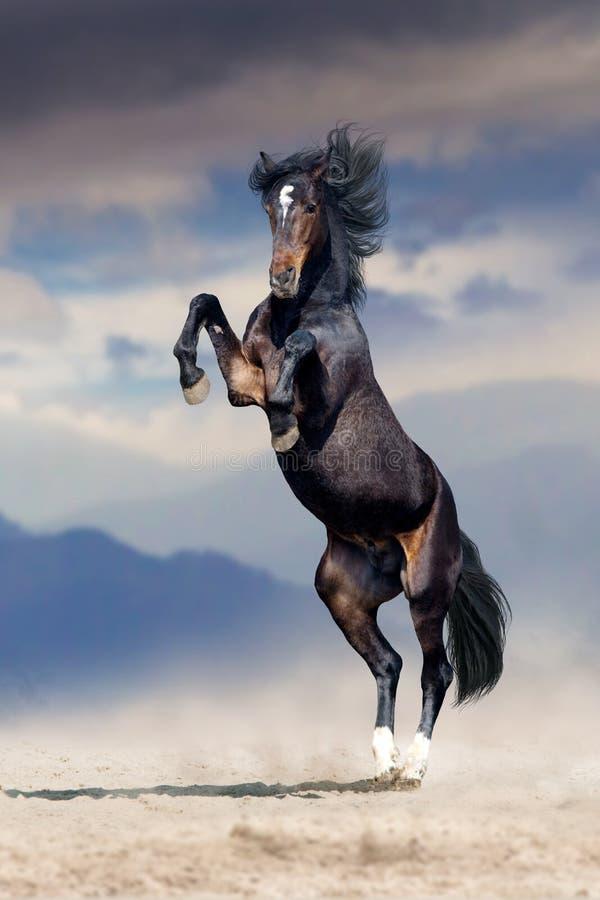 Темная лошадка в пыли подняла стоковое фото