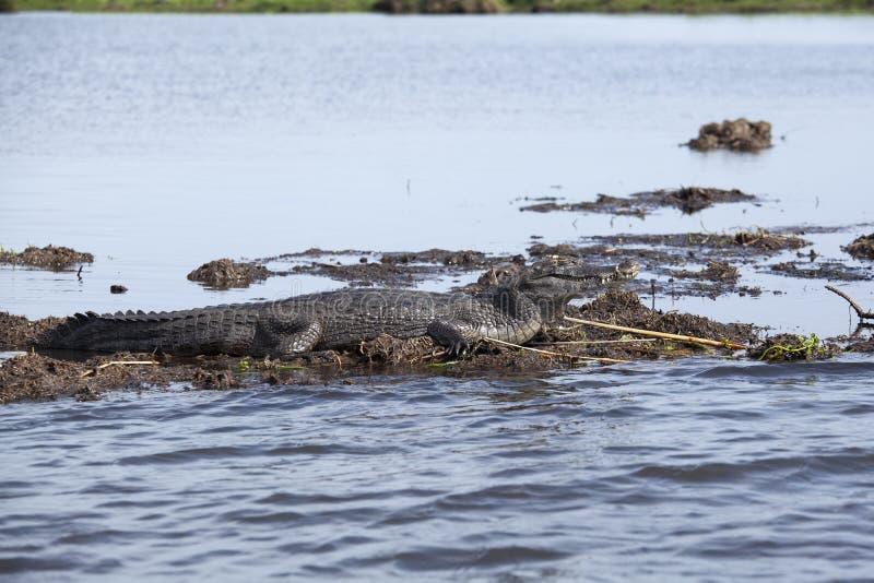 Темное yacare Caiman аллигатора в Esteros del Ibera, Аргентине стоковая фотография rf