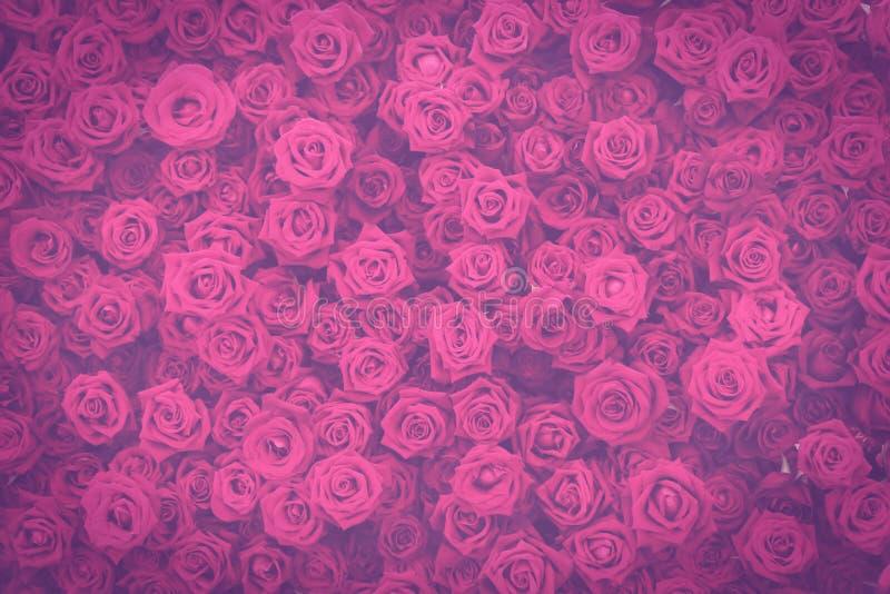 Темнота тонизировала винтажную розовую пурпурную предпосылку стены цветков роз стоковое изображение
